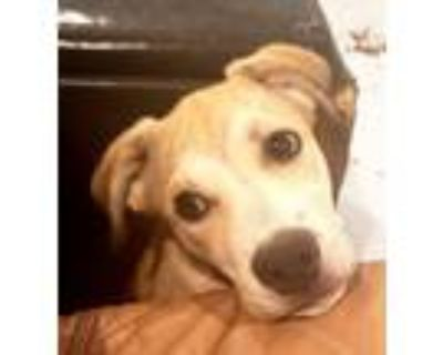Adopt MISS TILLY a Labrador Retriever, Husky