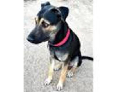 Adopt Cody a Tan/Yellow/Fawn - with Black German Shepherd Dog / Labrador
