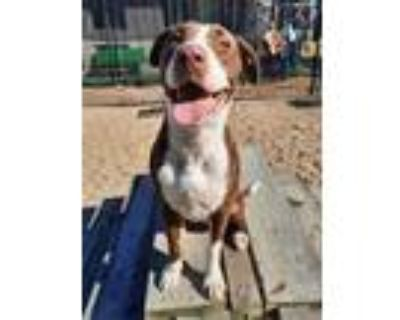 Adopt Taffy a Brown/Chocolate American Pit Bull Terrier / Mixed dog in