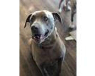 Barkley Aka Hunter, Labrador Retriever For Adoption In Colorado Springs