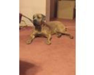 Adopt Lady Hazel a Tan/Yellow/Fawn Cane Corso / Cane Corso / Mixed dog in