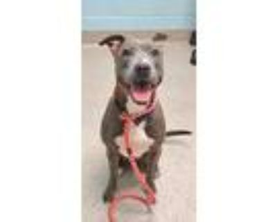 Adopt Gypsy a Gray/Blue/Silver/Salt & Pepper American Pit Bull Terrier / Mixed