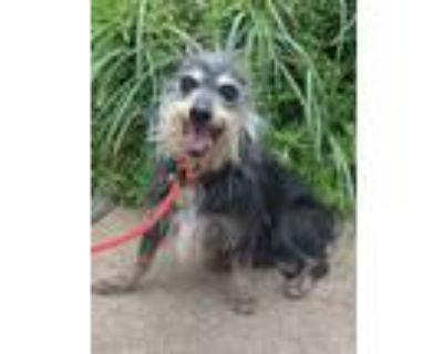 Adopt Jax - Bonded Pair a Wirehaired Terrier, Dachshund
