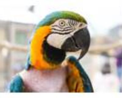 Adopt Casey a Macaw