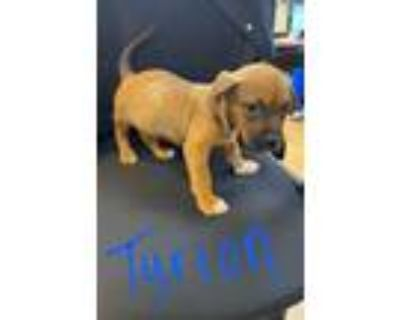 Adopt Tyrion a Tan/Yellow/Fawn - with Black Labrador Retriever / Mixed dog in