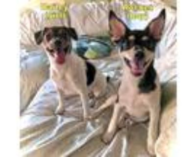 Adopt Rocket and Bailey a Tricolor (Tan/Brown & Black & White) Rat Terrier /