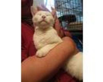 Marshmallow, Domestic Shorthair For Adoption In Brookhaven, Pennsylvania