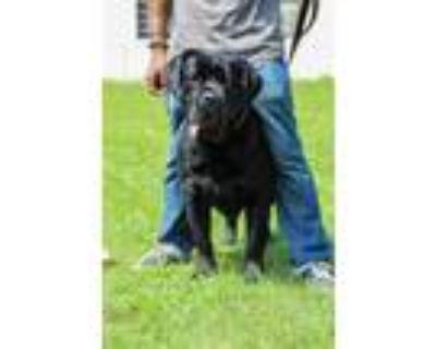 Adopt Princess a Black Cane Corso / Mixed dog in New Castle, DE (31550702)
