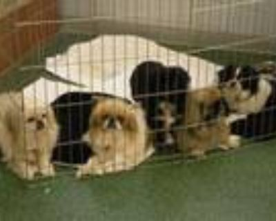 Adopt Fosters Needed! a Pekingese, Japanese Chin