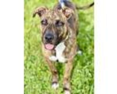 Adopt Willow (In Foster) a Brown/Chocolate American Pit Bull Terrier / Mixed dog