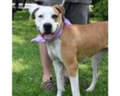 Adopt Seashell a Pit Bull Terrier