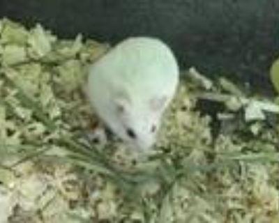 Adopt CALABASAS a Hamster