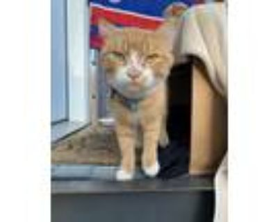 Adopt Neil a Orange or Red (Mostly) Domestic Shorthair / Mixed cat in