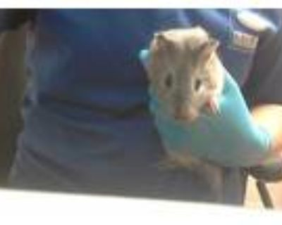 Adopt CHARCOAL a Silver or Gray Guinea Pig / Mixed small animal in Martinez