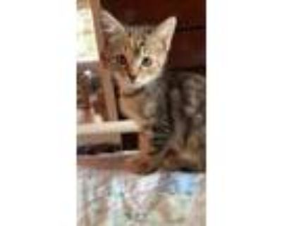 Adopt India a All Black Domestic Shorthair / Domestic Shorthair / Mixed cat in