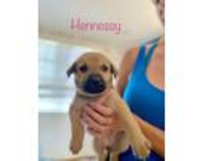Adopt Hennessy a Black Mouth Cur, Shepherd