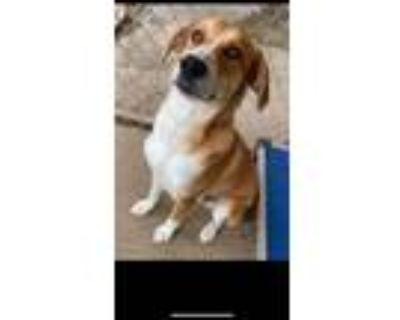 Adopt Rubble a Beagle