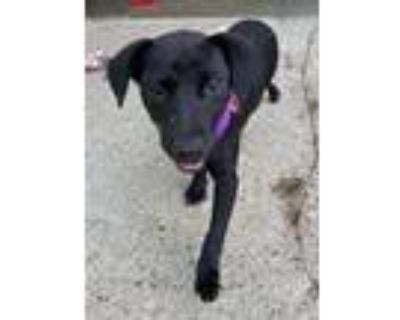 Adopt Mimi a Labrador Retriever, Mixed Breed
