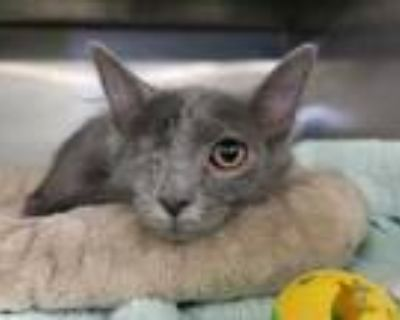 Adopt Leo a Gray or Blue Domestic Mediumhair / Domestic Shorthair / Mixed cat in