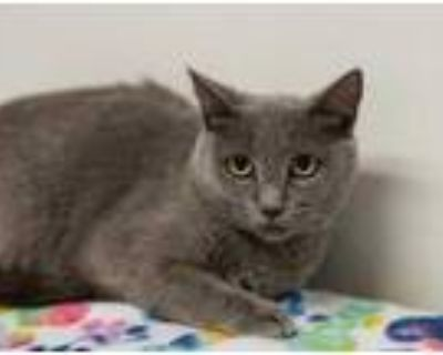 Adopt Grace a Gray or Blue Russian Blue / Domestic Shorthair / Mixed cat in West