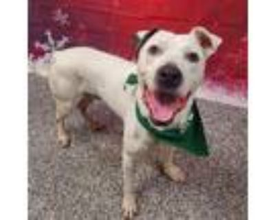Adopt DASH a White - with Brown or Chocolate American Pit Bull Terrier / Mixed