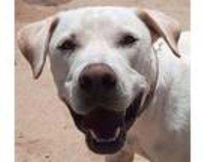 Leo, Labrador Retriever For Adoption In Palmdale, California