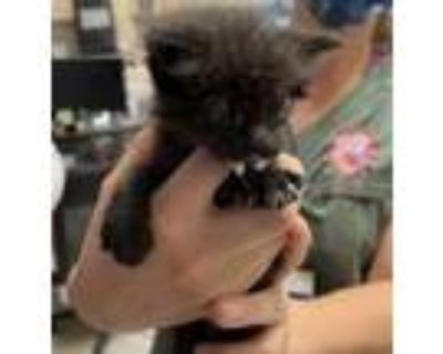 Adopt 47807204 a All Black American Shorthair / Mixed cat in El Paso