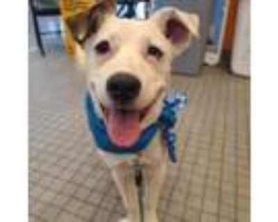 Adopt Seb a Catahoula Leopard Dog, Jack Russell Terrier