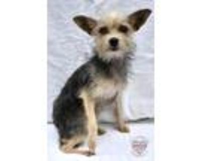 Adopt CITY OF HAWTHRONE 050621-533 a Yorkshire Terrier