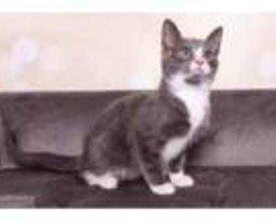 Adopt Tito a White Domestic Shorthair / Domestic Shorthair / Mixed cat in Santa
