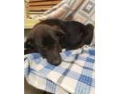 Adopt Enzo a Black Labrador Retriever / Mixed dog in West Chester, PA (31496801)