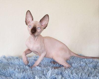 Sphynx chocolate kitten with blue eyes