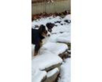 Adopt Bear a Tricolor (Tan/Brown & Black & White) Australian Shepherd /