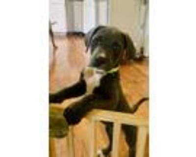 Adopt Ivy a Gray/Silver/Salt & Pepper - with White American Pit Bull Terrier /
