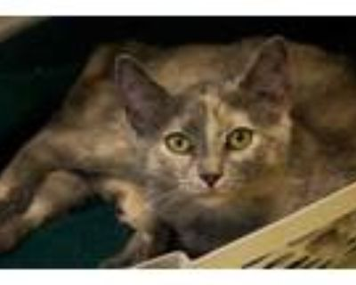 Adopt Genesis a Gray or Blue Domestic Shorthair / Domestic Shorthair / Mixed cat