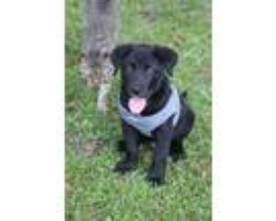 Adopt Angus a Labrador Retriever