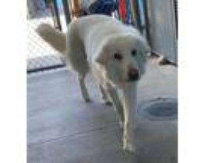 Adopt DA-BAI a White Great Pyrenees / Golden Retriever / Mixed dog in Agoura