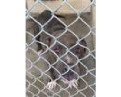 Adopt Layla - Phoenix area (COURTESY POST) a Pit Bull Terrier