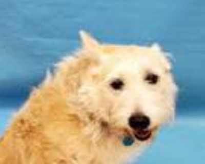 Adopt Bailey a White Terrier (Unknown Type, Small) / Husky / Mixed dog in Coon