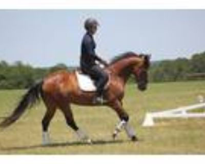 Versatile and Dependable AQHA Mare Experience Dressage and Ranch Sorting