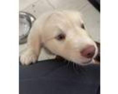 Adopt Mocha a Tan/Yellow/Fawn - with White Border Collie / Labrador Retriever /