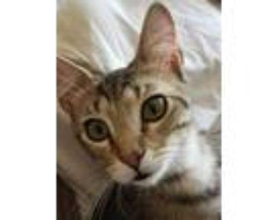 Adopt FESTUS a Brown Tabby Maine Coon (short coat) cat in Lake Waynoka