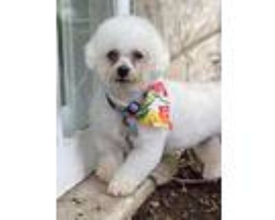 Adopt Emmalou a White Bichon Frise / Mixed dog in West Allis, WI (31785799)