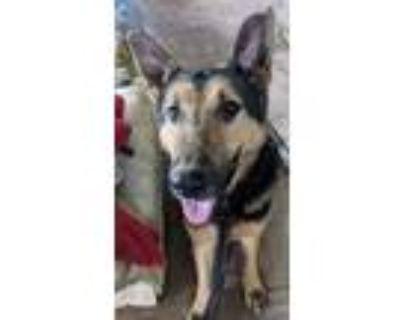 Adopt Knight a German Shepherd Dog