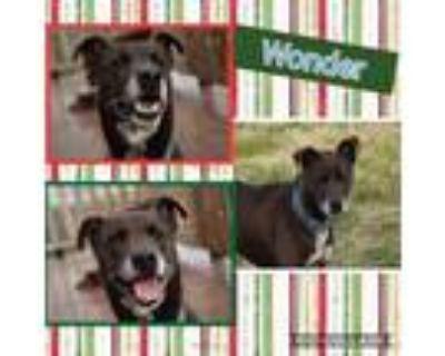 Adopt Wonder a Labrador Retriever