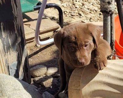 Chocolate American Labrador Retriever