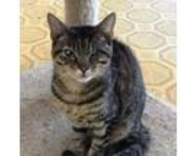 Adopt Willie a Brown or Chocolate Domestic Shorthair / Mixed cat in Hemet