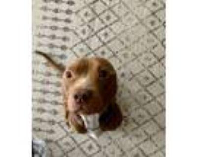 Adopt Doug - ADOPTION PENDING a Brown/Chocolate American Pit Bull Terrier /