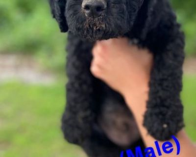 Airedoodle Puppies
