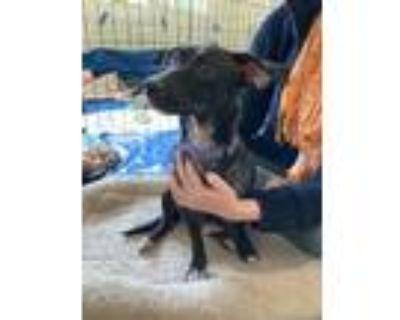 Adopt Halo a Black Dachshund / Mixed dog in Encino, CA (28669032)